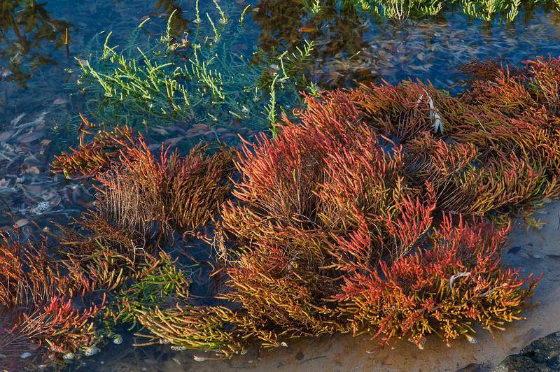 Inundated reddish plants of glasswort Salicornia europaea on Purple Island (Jazirat Bin Ghanim). Al Khor, Qatar, November 28, 2014