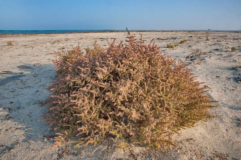 Blooming bush of Salsola drummondii on a beach in Abu Samra, near the border. Southern Qatar, November 29, 2014