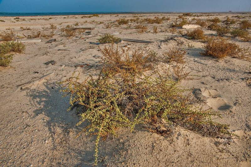 Plant of Salsola drummondii growing on a beach in Abu Samra, near the border. Southern Qatar, November 29, 2014