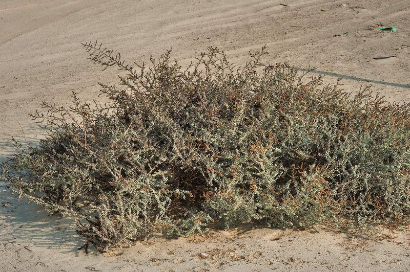 Big plant of Seablite (Suaeda vermiculata) on a beach in Abu Samra, near the border. Southern Qatar, November 29, 2014