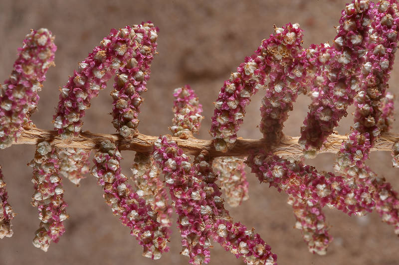 Twig of Salsola cyclophylla with winged fruits on a beach in Abu Samra, near the border. Southern Qatar, November 29, 2014