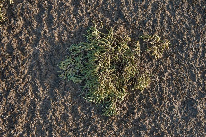 Jointed glasswort (Halocnemum strobilaceum) in salt marsh near Al Thakira. Qatar, December 5, 2014