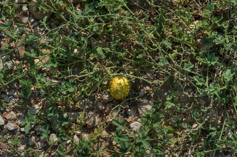 Yellow fruit on a plant of wild gourd (Cucumis prophetarum) on roadside of a road to Al Nuaman (Al Numan) near Zubara. Northern Qatar, December 12, 2014