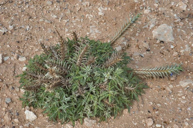 Winter rosette of leaves of Eyelash Plant (Blepharis ciliaris) on roadside of a road to Al Nuaman (Al Numan) near Zubara. Northern Qatar, December 12, 2014