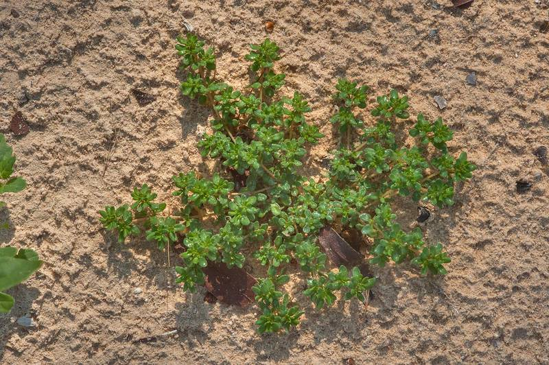 Young plant of European seaheath (Frankenia pulverulenta) near Al Khor Hospital. Qatar, December 13, 2014