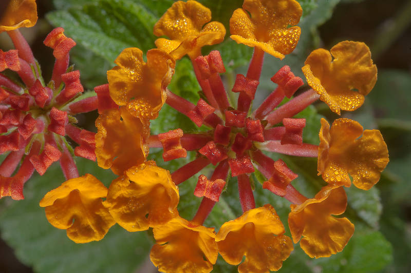 Orange flowers of Lantana camara in a small park in West Bay, in Onaiza area. Doha, Qatar, December 20, 2014
