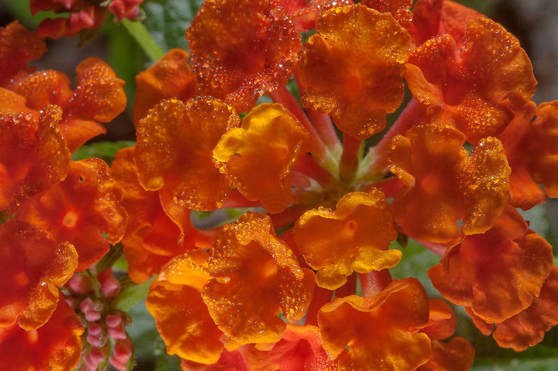 Close up of orange flowers of Lantana camara in a small park in West Bay, in Onaiza area. Doha, Qatar, December 20, 2014