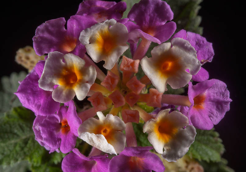 Purple flowers of Lantana camara taken from Onanza area near West Bay. Doha, Qatar, January 5, 2015