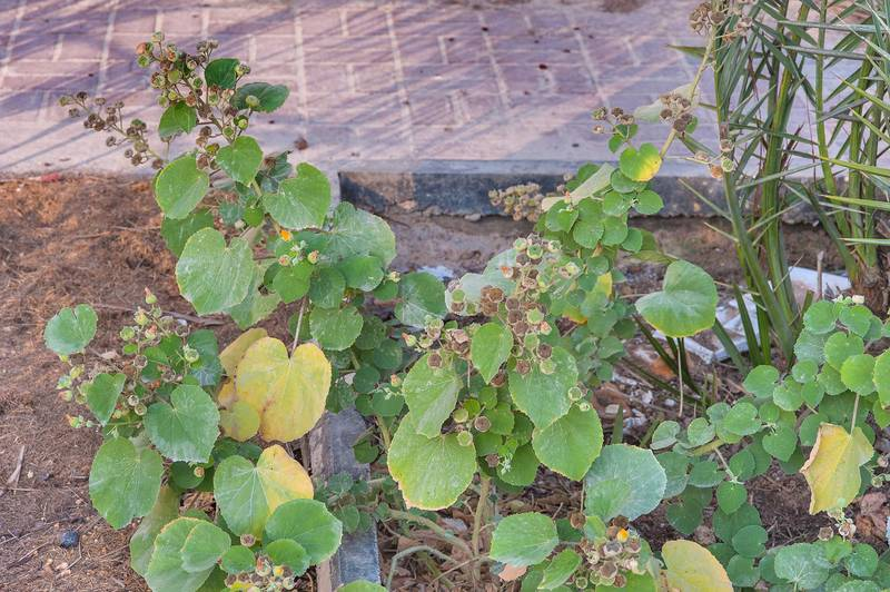Plant of velvetleaf (Abutilon pannosum var. figarianum) behind gas station on Al Sham Street in West Bay. Doha, Qatar, January 8, 2015