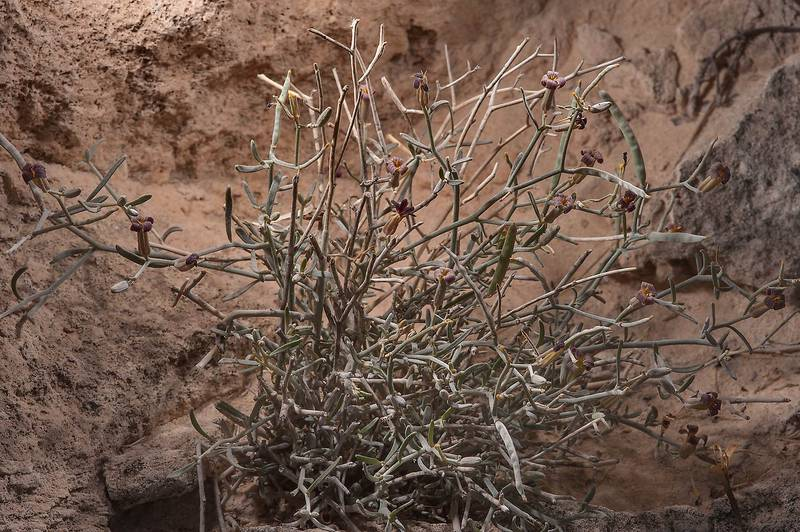 Farsetia heliophila on rocky ridge of Jebel Fuwairit. Northern Qatar, January 8, 2015