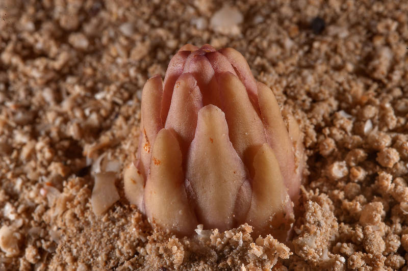 Parasitic plant Cistanche tubulosa (desert hyacinth) emerging from sand near Purple Island (Jazirat Bin Ghanim). Al Khor, Qatar, January 9, 2015