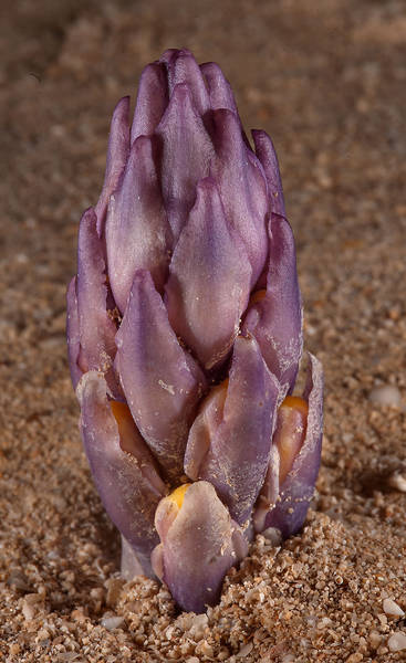 Purple shoot of parasitic plant Cistanche tubulosa (desert hyacinth) emerging from sand on Purple Island (Jazirat Bin Ghanim). Al Khor, Qatar, January 9, 2015