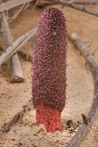 Club-shaped inflorescense of Desert Thumb (Cynomorium coccineum, local name tartouth) on a beach in the area of Al Hamala (Al Hamlah) Water Well near Umm Bab. South-western Qatar, January 10, 2015