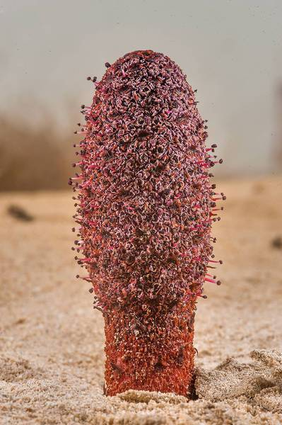 Dark-red inflorescence of Desert Thumb (Cynomorium coccineum, local name tartouth) on a beach in the area of Al Hamala (Al Hamlah) Water Well near Umm Bab. South-western Qatar, January 10, 2015