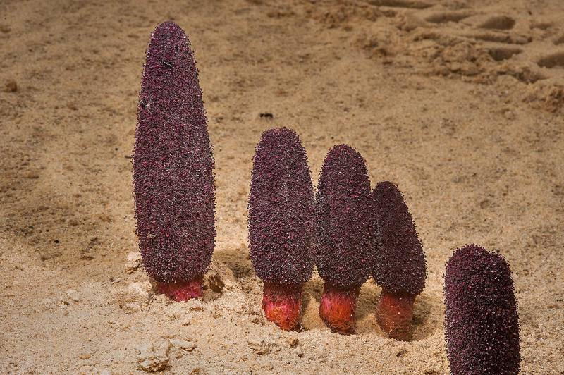 Dark-red flowers of Desert Thumb (Cynomorium coccineum, local name tartouth) on fleshy, unbranched stems on a beach in the area of Al Hamala (Al Hamlah) Water Well near Umm Bab. South-western Qatar, January 10, 2015