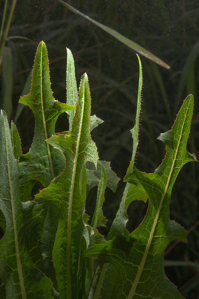 Leaves of smooth sow thistle (Sonchus oleraceus) on Green Circles (center-pivot irrigation) in Irkhaya Farms. Qatar, January 16, 2015