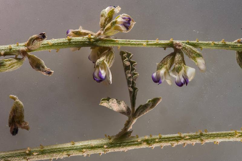 Flowers of Psoralea plicata (Cullen plicatum, local names hama, Jhil) in Umm Houtah. Southern Qatar, January 16, 2015