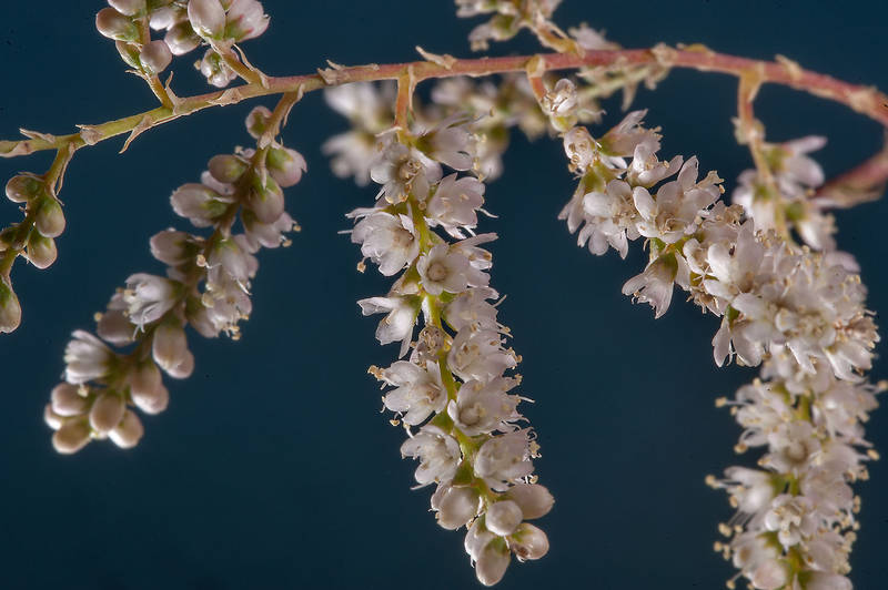 Blooming tamarisk (Tamarix aphylla) north from Al Khor Hospital. Qatar, January 30, 2015