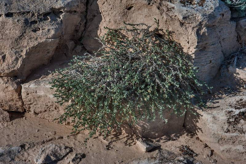 Plant of stoneseed (Echiochilon jugatum) on rocky ridge of Jebel Fuwairit. Northern Qatar, January 31, 2015