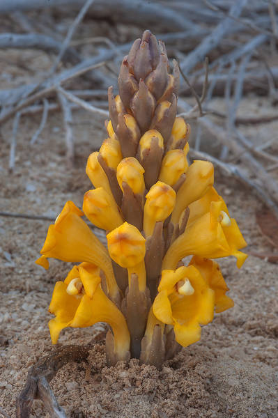 Flower spike of Cistanche tubulosa (desert hyacinth, dhanoon, Tartuth) in sand near Purple Island (Jazirat Bin Ghanim). Al Khor, Qatar, February 6, 2015