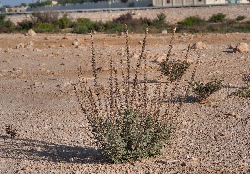 Reseda muricata near Al Khor Hospital. Qatar, February 6, 2015