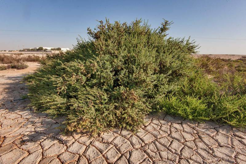Large bush of seablite (Suaeda vermiculata) near Al Khor Hospital. Qatar, February 6, 2015