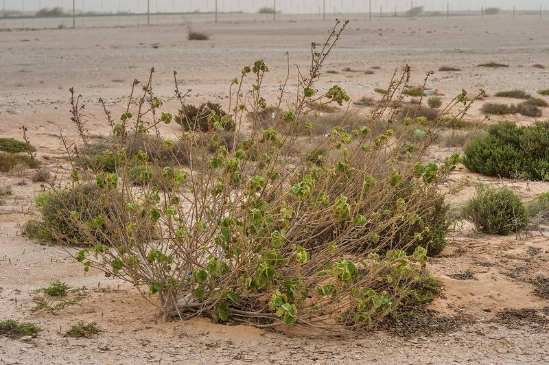 Bush of velvetleaf (Abutilon pannosum var. figarianum) on roadside of Dukhan Road. Qatar, February 13, 2015
