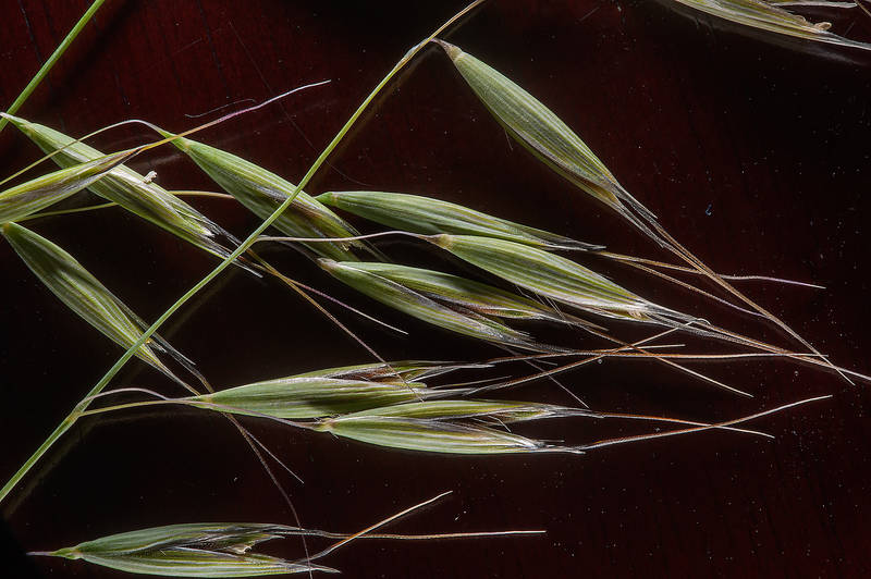 Wild oat (Avena sterilis subsp. ludoviciana) taken from area of Al Sham Street in West Bay. Doha, Qatar, March 4, 2015