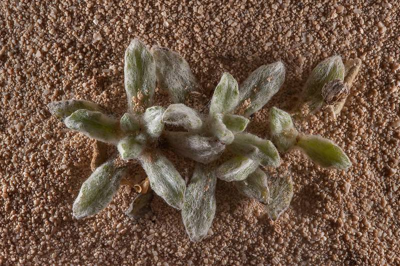 Leaves of Pulicaria gnaphalodes in sand on rocky ridge of Jebel Fuwairit. Northern Qatar, March 6, 2015