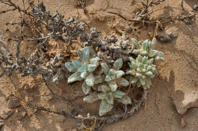 Emerging fresheaves of Pulicaria gnaphalodes on rocky ridge of Jebel Fuwairit. Northern Qatar, March 6, 2015