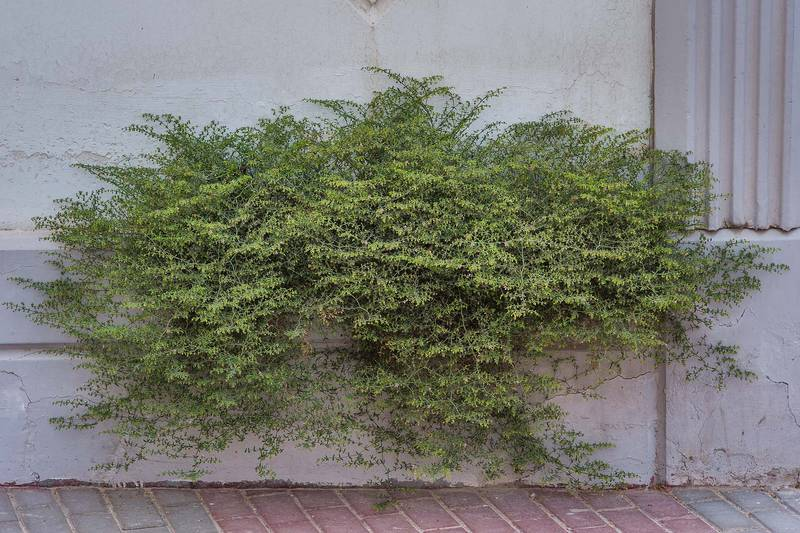 Large bush of Fagonia bruguieri in Onaiza area. Doha, Qatar, March 10, 2015