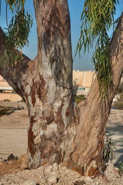 River Red Gum (Eucalyptus camaldulensis) in Al Luqta area. Doha, Qatar, March 13, 2015