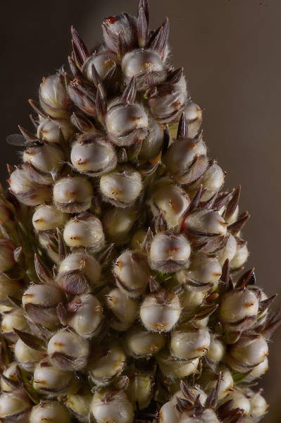 Sorghum bicolor in Al Luqta area. Doha, Qatar, March 13, 2015