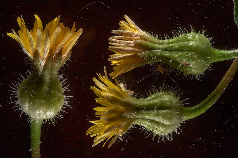 Flower heads of prickly goldenfleece (Urospermum picroides) taken from a place with water leakage in Al Luqta area. Doha, Qatar, March 13, 2015