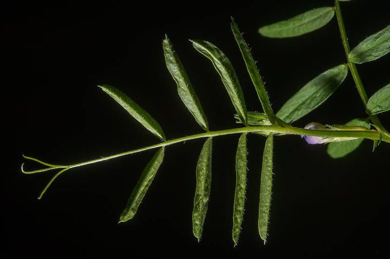 Leaf of hard vetch (Vicia monantha) taken from Ibn Nusaih Street in Onaiza area. Doha, Qatar, March 13, 2015