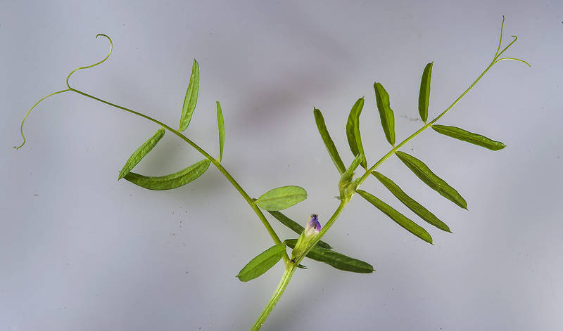 Shoot of hard vetch (Vicia monantha) on white background taken from Ibn Nusaih Street in Onaiza area. Doha, Qatar, March 13, 2015