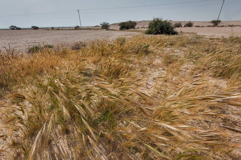 Spear grass (Stipa capensis) in a runnel on the periphery of Green Circles (center-pivot irrigation) in Irkhaya (Irkaya) Farms. Qatar, March 14, 2015