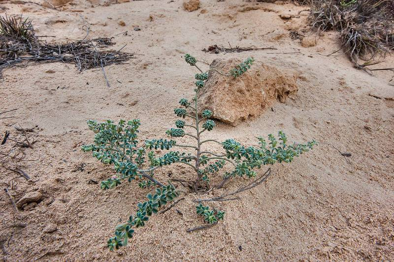 Lotus garcinii in sand on a rocky ridge of Jebel Fuwairit. Northern Qatar, March 20, 2015