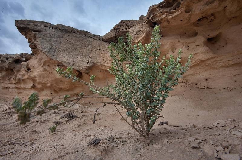 Plant of Lotus garcinii under cliffs on a rocky ridge of Jebel Fuwairit. Northern Qatar, March 20, 2015