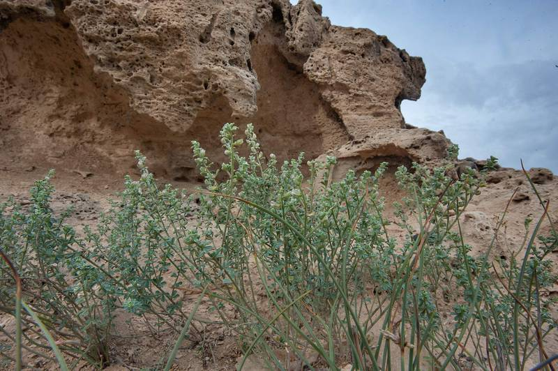 Growth of Lotus garcinii under cliffs on a rocky ridge of Jebel Fuwairit. Northern Qatar, March 20, 2015