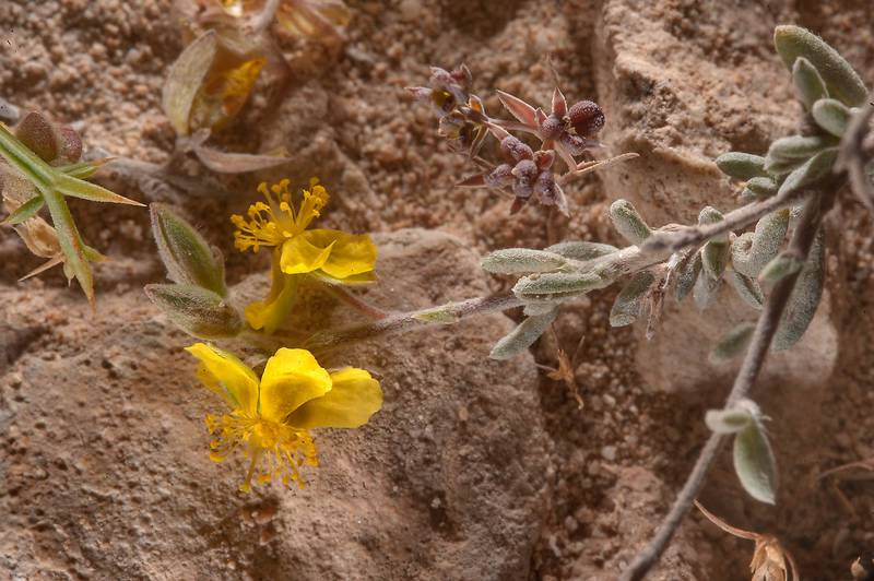 Helianthemum kahiricum on a rocky ridge of Jebel Fuwairit, with ribbed fruits on a small plant of Grey Hare's Ear (Bupleurum semicompositum) in background. Northern Qatar, March 20, 2015