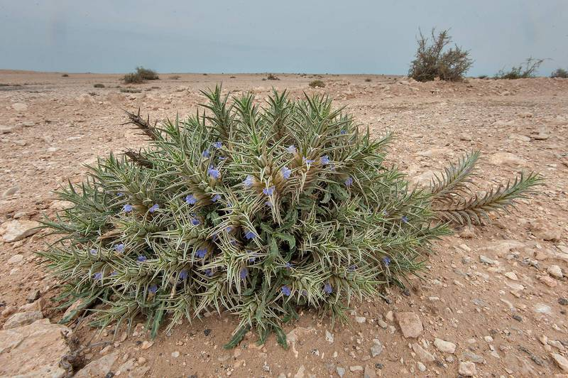 Eyelash plant (Blepharis ciliaris) with flowers on roadside at the entrance of Al Nuaman (Al Numan) near Zubara. Northern Qatar, March 20, 2015