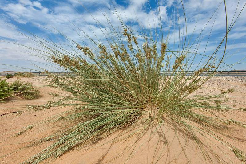 Large sedge (Cyperus conglomeratus) in windblown sand on roadside of Salwa Road in area of Rawdat Ekdaim. Southern Qatar, March 21, 2015