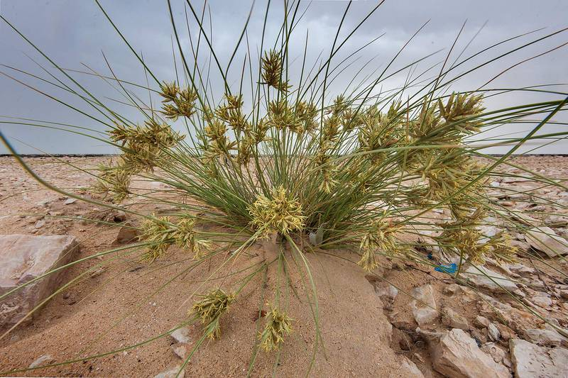 Sedge (Cyperus conglomeratus) on roadside of a road to Harrarah. Southern Qatar, March 27, 2015