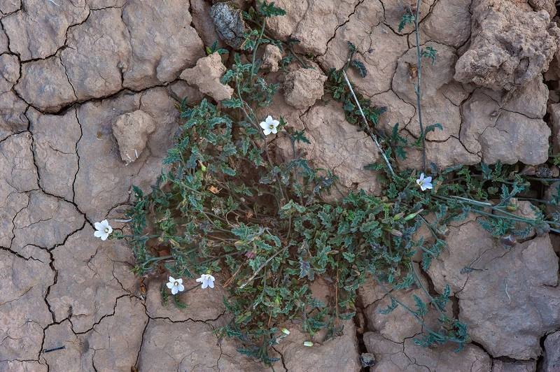 Blooming bindweed Convolvulus fatmensis in a silty depression in Al Nuaman (Naim tribe, Nuaimiya) near Zubara. Northern Qatar, March 28, 2015