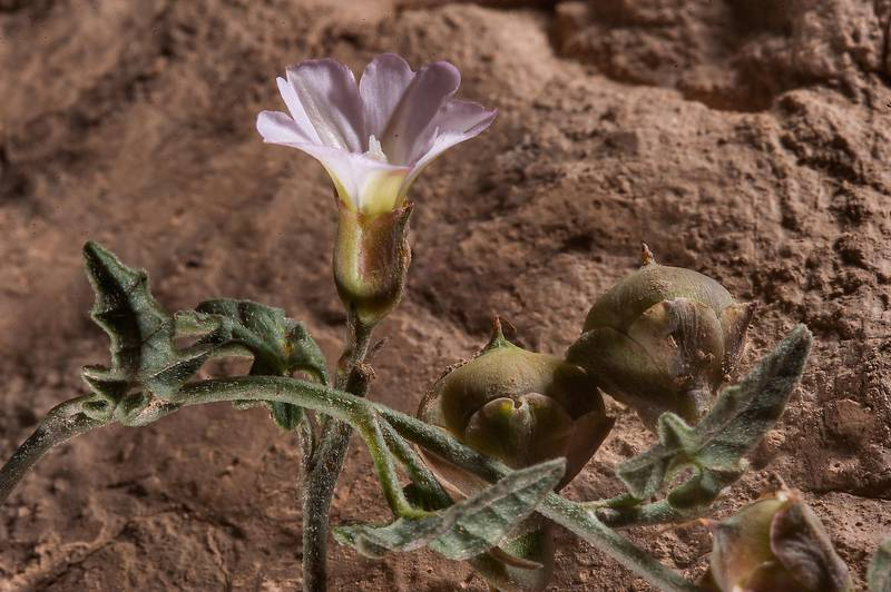 Flower and fruits of bindweed Convolvulus fatmensis in a silty depression in Al Nuaman (Naim tribe, Nuaimiya) near Zubara. Northern Qatar, March 28, 2015