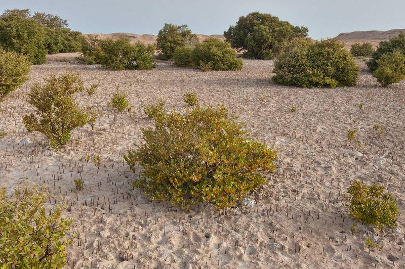 Mangroves trees (Avicennia marina) near Purple Island (Jazirat Bin Ghanim). Al Khor, Qatar, April 4, 2015