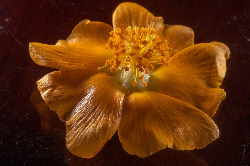 Close up of a flower of velvetleaf (Abutilon pannosum var. figarianum) on dark background taken from extension of Al Kharais Street behind gas station on Al Sham Street in West Bay. Doha, Qatar, April 4, 2015