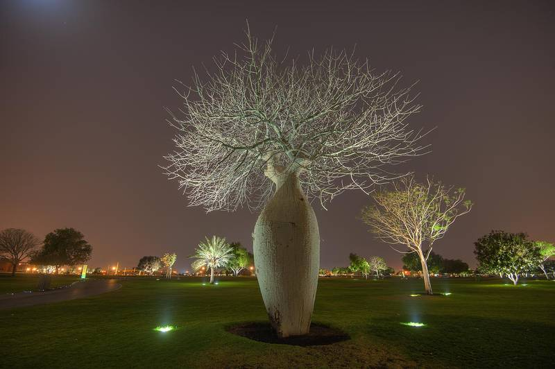 Silk floss tree (Chorisia speciosa, Ceiba speciosa, baobab family) in Aspire Park. Doha, Qatar, April 9, 2015