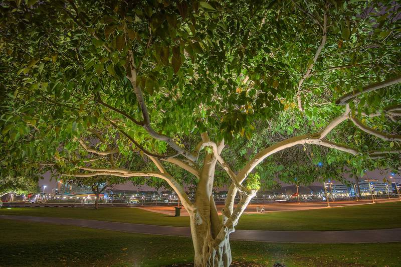 Ficus altissima in Aspire Park. Doha, Qatar, April 9, 2015